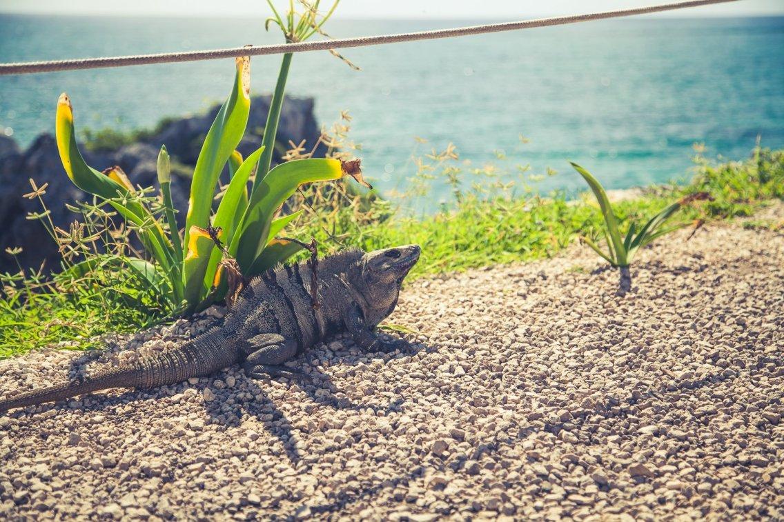 Tulum Ruinen am Karibischen Meer Leguan im Sand