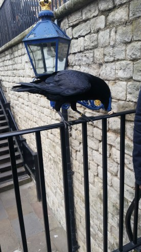 One of the crows of the Tower