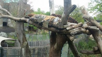 I Tiger. Rawr