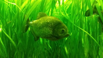 I'm a piranha, they live in the Amazon.
