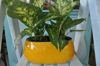 Two house plants - exclusive ceramic pot