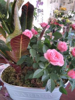rose plant and house plant in a modern tin pot - 25 pounds