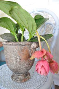 Beautiful Medinilla and Planter