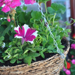 Image shows a hanging basket