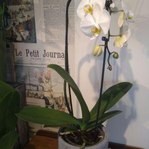 Amazing Phalaenopsis Plant
