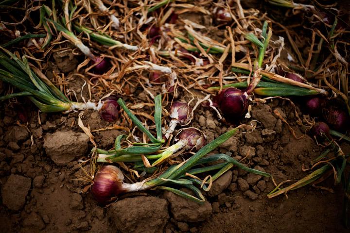 09092015_Onion01web