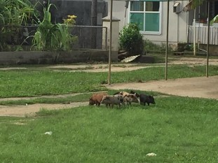 Squad of 5 piglets down the road from our place