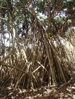 Epic pandanus root system