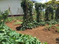 Veggie plot at the research farm