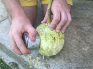 Skinning the breadfruit