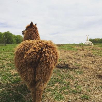 Gabe and Apollo, the alpaca and llama duo at Evan's Knob Farm
