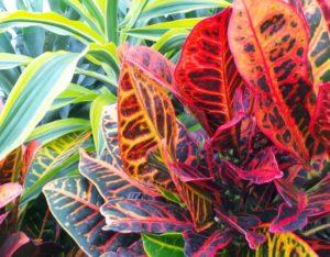 Colourful mix of Dracaena Lemon Lime and Codiaeum. Pictures; Perfect Plants