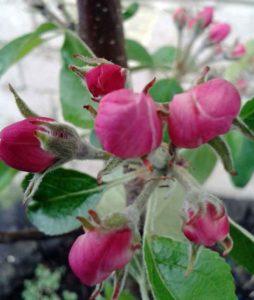 Red Falstaff apple blossom