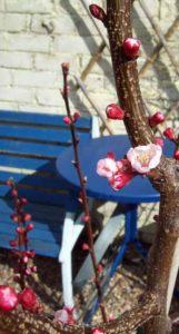 Apricot Kioto in flower