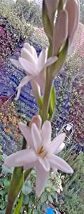 Eye-watering strong but fabulous - tuberose perfume