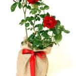 Valentine's Day gardening gifts