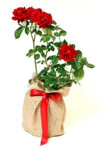 Red Rose in Terracotta Pot