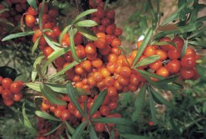 Sea buckthorn Botanica