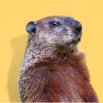 1aa-whoknew07---feb--7-art-ggr10bnoa-1groundhog-standing
