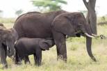 Elefanten Serengeti-feb 2017-2-2