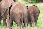 Elefanten Tarangire-2017-1-2