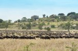 gnus u zebras serengeti migration 2017-5-2