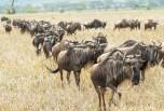 gnus u zebras serengeti migration 2017-6-2
