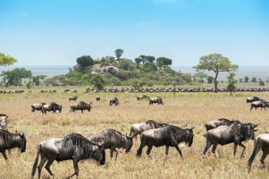gnus u zebras serengeti migration 2017-8-2