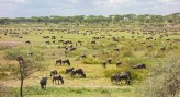 Ndutu-Serengeti Migration 2017-1-2