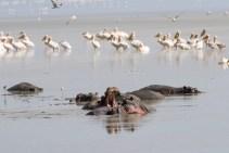 Nilpferde u Vögel lake Manjara-2017-1-2