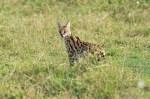 Serval Serengeti-2017-3-2