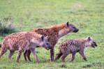 Tüpfel Hyänen Serengeti 2017-4-2
