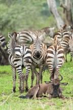 zebras u Gnus Serengeti feb 17-2-2