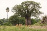 Antilopen weiblich u Baobabbaum-2017-1 Tarangire-2
