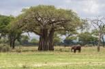 Baobab Baum und Elefant Tarangire-2017-1-2