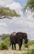 Elefant Tarangirei 2017-1-2