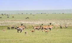 Elenantilopen Gazellen usw Ngorongoro 2017-1-2