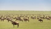 Gnus Ngorongoro-2017-1-2