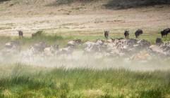 Löwe Gnus und zebras Ndutu-Ngorongoro 2017-4-2