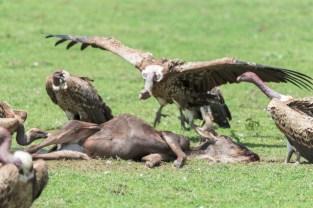Sperbergeier-Ngorongoro-2017-5-2