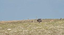 Strauß u div Tiere Ngorongoro 2017-1-2