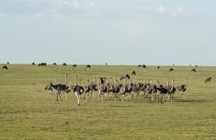 Straußenfamilie Ngorongoro-2017-1-2
