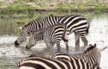 zebras Tarangire 2017-1-2