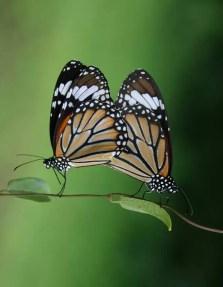 Butterfly_Garden_Moodbidri_Belavi4