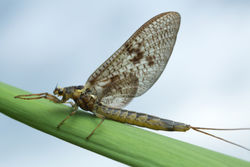 stock-photo-mayfly-ephemera-vulgata-on-straw-this-insect-is-often-imitated-by-fly-fishermen-1150813610.jpg