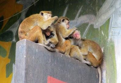 Az erkély válaszfalán kurkászó majmok