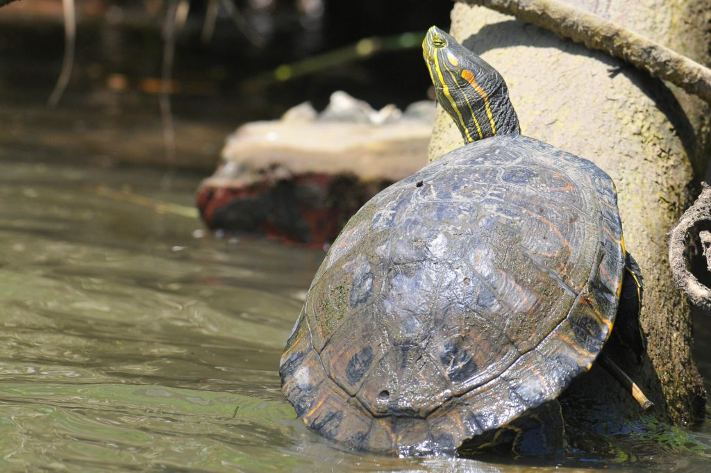 land turtle and water