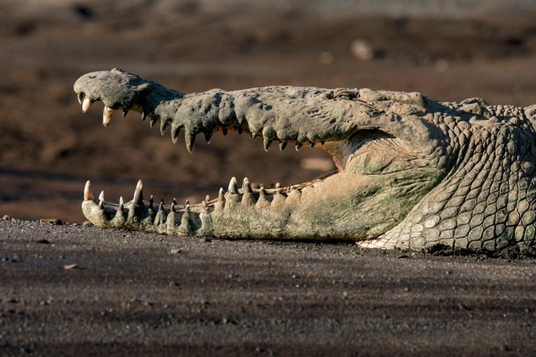 crocodilemantour