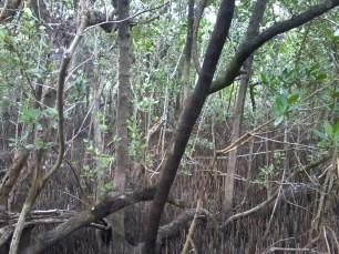 black mangrove (1)