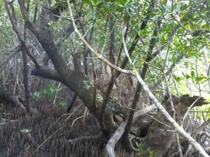 black mangrove (2)